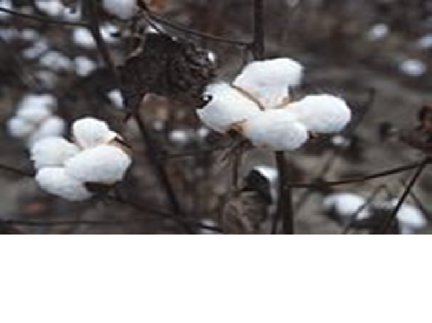 •Genetically modified cotton