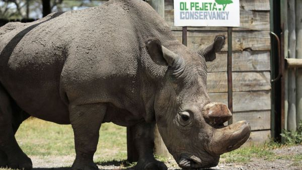 •The male northern white rhino before its death