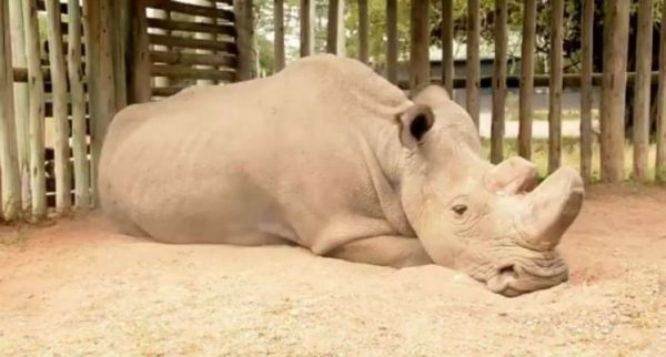 •The now extinct last male northern white rhino
